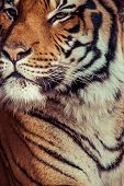 foto of cute tiger  - Close - JPG
