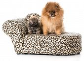 pomeranian adult and puppy on a couch