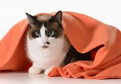 cat hiding under covers - ragdoll sitting under orange blanket on white background - male