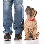 dog training - chinese shar pei sitting in heal postion