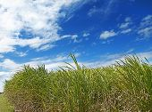 stock photo of wispy  - Windy day scene with long green sugarcane grass and wispy fluffy clouds in blue sky - JPG