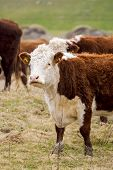 stock photo of hereford  - A high country Hereford bull looking into the camera - JPG