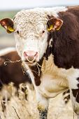 picture of hereford  - A high country Hereford bull looking into the camera