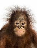 image of orangutan  - Close - JPG