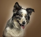 Close-up of a Border collie panting, with provocative look, on a brown gradient background
