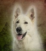 foto of swiss shepherd dog  - Close - JPG