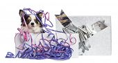 Chihuahua in a present box with streamers, isolated on white