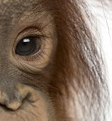 foto of orangutan  - Close - JPG