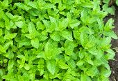 foto of peppermint  - A nice background of Moroccan peppermint in garden - JPG