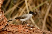 stock photo of bulbul  - beautiful Sooty - JPG