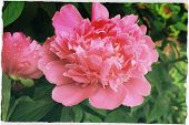 pic of pompous  - pompous big in full bloom pink peony on bush - JPG
