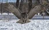 stock photo of snow owl  - Great gray owl in flight coming directly toward the camera - JPG