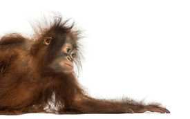 picture of orangutan  - Side view of a young Bornean orangutan leaning on its arm - JPG