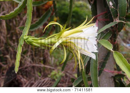 Flower Of Dragonfruit