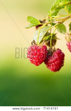 Raspberry. Raspberries. Growing Organic Berries