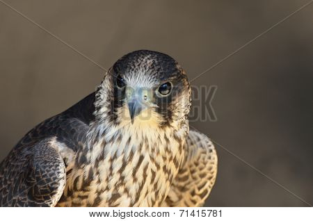 Peregrine Falcon in close up