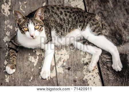 Portrait Stray Cat Watching Camera On Wood Floor