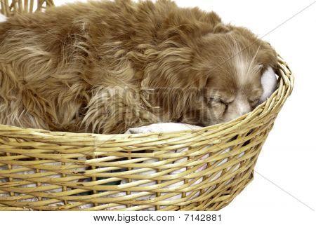 Cachorro de dormir