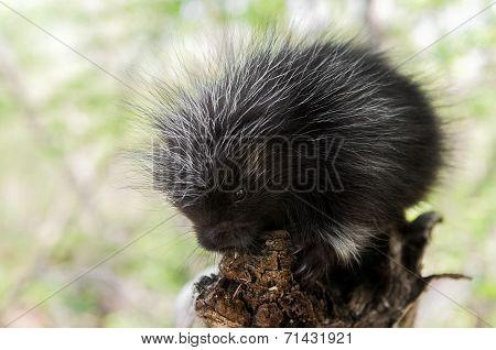 Baby Porcupine (erethizon Dorsatum) At End Of Branch