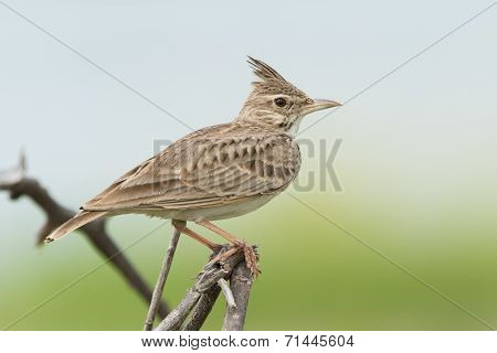 A Crested Lark (galerida Cristata) On An Exposed Perch