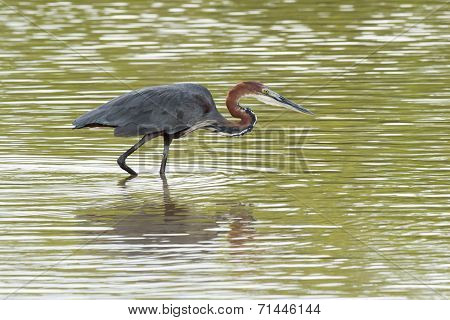 A Goliath Heron (ardea Goliath) Wading In Shallow Water
