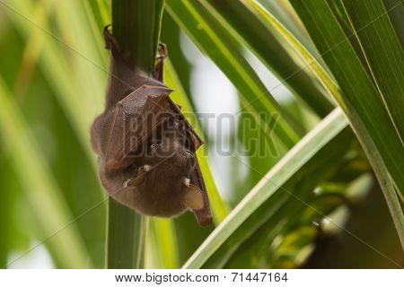 Peter's Dwarf Epauletted Fruit Bat (micropteropus Pusillus) Hanging On The Underside Of A Palm Leaf