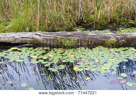 Log amid Lily Pads