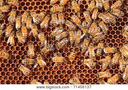hardworking bees on honeycomb