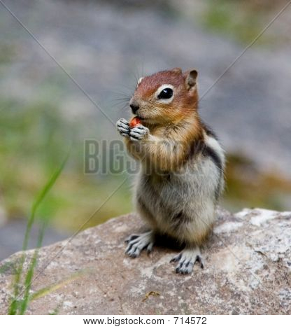 North American Golden Mantled Ground Squirrel