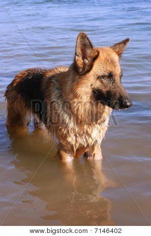 Wet Germany Sheep-dog