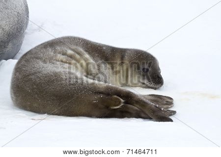 Weddell Seal Pup Who Is Resting On The Ice In Antarctica