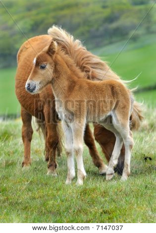 Wild Dartmoor Mother And Foal.