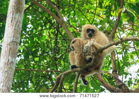 Mom And Baby Of White-handed Gibbon Sitting On The Tree