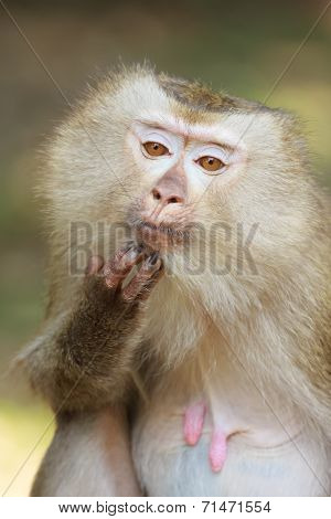 A Close Up Of Pig-tailed Macaque (macaca Nemestrina)
