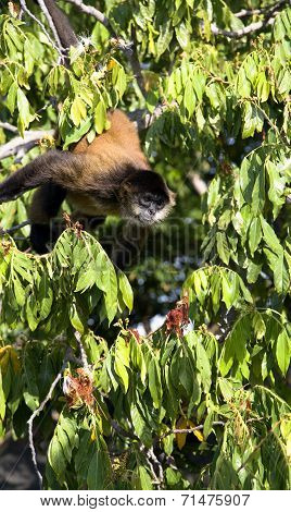 Spider Monkeys of the genus Ateles