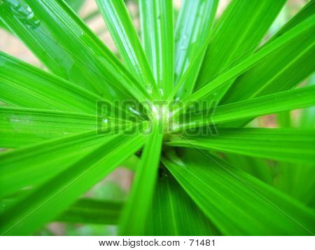 Green Streaked Leaves