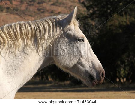 Head Shot Of Large White Horse Head