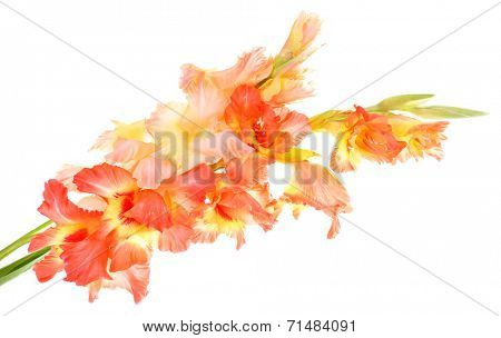 beautiful gladiolus flowers, isolated on white