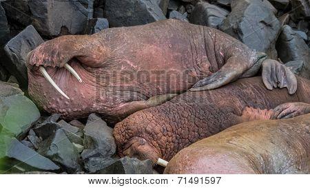 Shy Walrus