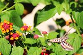 stock photo of hawk moth  - Hummingbird moth  - JPG