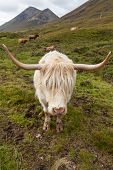 picture of highland-cattle  - Highland cattle or Scottish cattle photographed on Isle of Skye - JPG