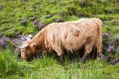 foto of highland-cattle  - Highland cattle or Scottish cattle photographed on Isle of Skye - JPG