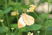 foto of lantana  - Great Orange Tip butterfly and flowers - JPG