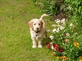 picture of cockapoo  - A Cockapoo puppy standing in some grass, behind some red and white flowers.