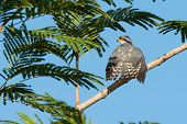picture of sun perch  - A Shikra  - JPG