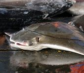 stock photo of stingray  - A large stingray is for sale at a fishmarket in Taiwan - JPG