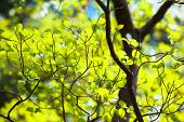 stock photo of dogwood  - Bright leaves and branches of dogwood (Cornus florida)