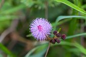 foto of mimosa  - Closeup macro image of flower of touch - JPG