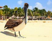 image of playa del carmen  - Beautiful brown pelican on mexican beach in Playa del Carmen - JPG
