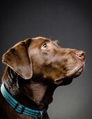 picture of chocolate lab  - image of a portrait of a chocolate lab - JPG